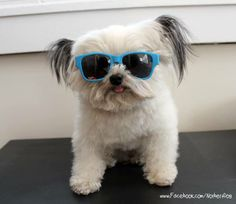 Norbert in Shades www.Norbert.me. Registered therapy dog. So adorable. Inspired a children's book.