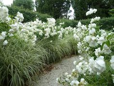 Masses of white Rosa 'Iceberg' Miscanthus sinensis 'Variegatus' lining the path Front House Landscaping, Driveway Landscaping, Landscaping Ideas, Landscape Stairs, House Landscape, Landscape Design, Perennial Border Plants, Rose Hedge, Plants