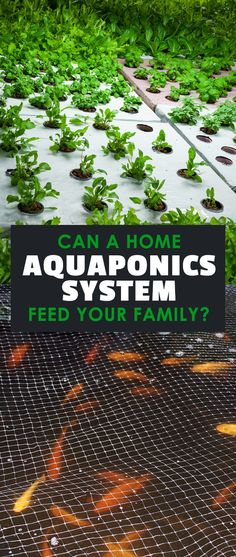 Home aquaponics systems are the most efficient way to grow plants and protein at the same time...period. Learn how to get started with a small scale system.