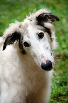 Curious borzoi pup