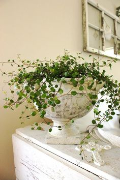 I love angel vine…it's hardy enough for outside in Western Washington, but… - All For Herbs And Plants Indoor Garden, Garden Pots, Indoor Plants, Outdoor Gardens, Decoration Plante, Diy Decoration, Deco Floral, Plant Decor, Garden Inspiration