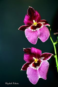 Miltonia Orchids. by Elizabeth1148., via Flickr