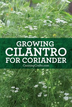 Growing Cilantro for Coriander Seeds plus tips for harvesting & ways to use this herb | Read more on CanningCrafts.com | #herbgarden #herbgardening #herbs #spices #cilantro #corainder #garden #gardening #gardener #growyourownfood Herb Gardening, Organic Gardening Tips, Canning Jar Labels, Victory Garden, Herb Recipes, Starting A Garden, Coriander Seeds, Grow Your Own Food, Growing Herbs