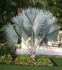 jardim com palmeira azul - Pesquisa Google