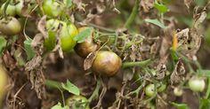 O picătură de iod și nu-ți vei recunoaște grădina! Acesta este un remediu împotriva fitoftorozei, mucegaiului alb și dăunătorilor. - Fasingur