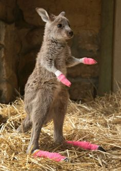 Baby kangaroo rescued from the bushfires in Australia, he must have burnt his feet trying to escape! Thanks to the sanctuary the rescued him and all the other animals!