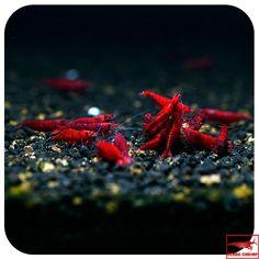 Bloody Mary Sakura Shrimp