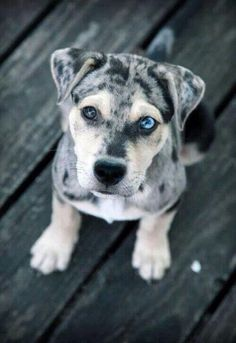 Puppy dog with different colored eyes. So beautiful
