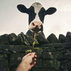Holstein cow I adore cows. Farm Animals, Cute Animals, Sweet Cow, Holstein Cows, Cute Cows, Rind, My Animal, Livestock, Cattle