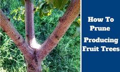 If you own any fruit trees, or are considering planting some, you need to be aware that they will require yearly maintenance for both tree structure and fruit production. This care should begin immediately upon planting, and continue through the life of t Prune Fruit, Pruning Fruit Trees, Dwarf Fruit Trees, Tree Pruning, Trees To Plant, Fruit Garden, Garden Boxes, Vegetable Garden, Garden Ideas