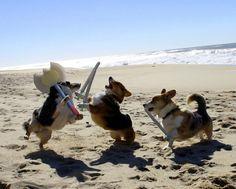 The Great Corgi Invasion Funny Animal Memes, Funny Dogs, Funny Animals, Cute Animals, Funny Memes, Funny Beach Pictures, Cute Pictures, Beach Humor, Corgi Dog