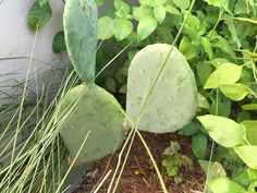 Spineless Prickly Pear Cactus, a gift from Rick and Cynthia Konkle