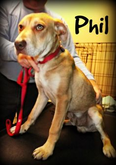 Meet Phil!  This young Labrador Retriever mix is available for adoption at Jasper Animal Rescue Mission, in Ridgeland, SC. For more information on how to adopt, please call 843-726-7799 or visit our website at www.JARMission.org.
