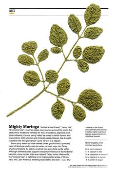 "Moringa oleifera ""mothers best friend"""