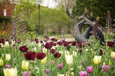 All the tulips are blooming! Does anyone know what the tall dark flowers are?