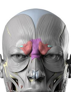 Anatomy Next Blog - Wrinkles brow inner lower