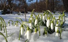 10 Snowdrops early spring flowers bulbs Naturalize Snow Drops Earliest Blooms *Pre-Chilled for forci Frühling Wallpaper, Spring Wallpaper, Flower Wallpaper, Wallpaper Gallery, Bulb Flowers, Small Flowers, Beautiful Flowers, Exotic Flowers, Early Spring Flowers