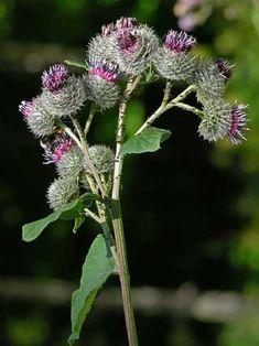 Seittitakiainen, Arctium tomentosum - Kukkakasvit - LuontoPortti