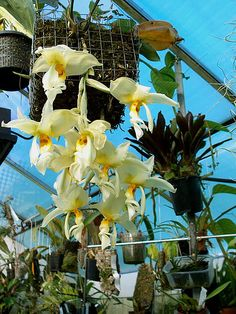 Stanhopea oculata; by Mikaels orchids - via Flickr