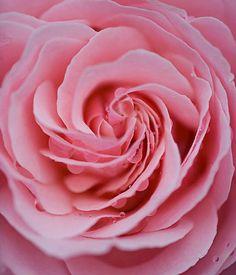 Rosa 'Sexy Rexy Macrexy' - Flickr - Photo Sharing!