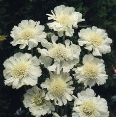 Pase Seeds - Scabiosa Caucasica Perfecta Alba Perennial Seeds, $3.59 (http://www.paseseeds.com/scabiosa-caucasica-perfecta-alba-perennial-seeds/)