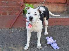 SAFE 6-10-2015 by All Breed Rescue, Vermont --- TO BE DESTROYED 5/27/2015 BELLA – A1031442  ***DOH HOLD 04/08/15***INCIDENT IN SHELTER WITH DOG***SAFER : EXP/NOCHILD***  FEMALE, BLACK / WHITE, PIT BULL MIX, 2 yrs OWNER SUR – EVALUATE, NO HOLD Reason NO TIME Intake condition EXAM REQ Intake Date 03/27/2015