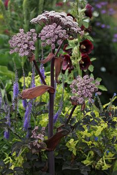 Angelica stricta 'Purpurea' - From Annie's Annuals | Perennial, Zones 5a - 8b, full sun to part shade, 3-4 feet tall and wide, average water needs, skin irritant.