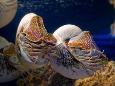 chambered nautilu [Image: © California Academy of Sciences]