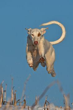 """Birds gotta sing, this dogs gotta fly!"" Nayeli by Nicole Knor Mundo Animal, My Animal, Charles Darwin, Magyar Agar, Animals And Pets, Cute Animals, Ibizan Hound, Dog Runs, Crazy Dog"