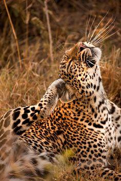 Leopard by catman-suha - Suha Derbent