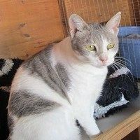 Beanie is a grey and white short haired female born May 2011. Independent and healthy who loves fresh water she is always the first to the clean water bowls. Cant find her ? Just run the tap. Adopt a shelter cat!