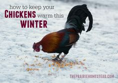 How to Keep Chickens Warm During the Winter