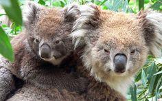 Koala con su cría (Phascolarctus cinereus)