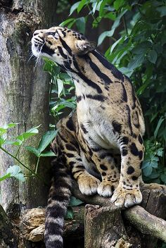 Clouded leopard. So cool, I've never seen this before!