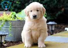 Your search for the perfect Golden Retriever puppy has ended! This delightful boy has a playful personality and is super social. Puppies For Sale, Cute Puppies, Cute Dogs, Dogs And Puppies, Dog Collar With Name, Dog Collar Tags, Retriever Puppy, Dogs Golden Retriever, Golden Retrievers