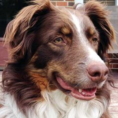 The Aussie Weekly #138 — The Weekly Special Feature for Australian Shepherd Lovers — Photo: Pam Lane, Aussie: Turbo