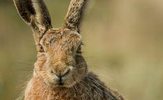 Havergate Hare