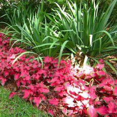 Red caladium garden border.>