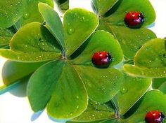 Lady-birds searching luck on four leaf clovers!