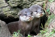 Baby.,Otter pups out their Den.