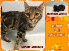 MINDY - A1093773 AND MYSTERIO - A1093774 - - Manhattan  ***TO BE DESTROYED 10/21/16*** TINY KITTEN TO BE TORN FROM MOMMA CAT'S SIDE AND KILLED AT NOON!!! Calling all fosters!! Tiny MYSTERIO is still nursing from his momma cat MINDY who is not listed tonight. In typical ACC fashion, they are going to kill MYSTERIO at noon, and leave momma cat wondering what happened to her baby! This is so cruel and unnecessary. How much room in a cage does a 3 week old kitten take? Wh