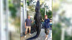 Alligator gefangen