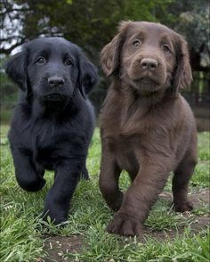 Black and Chocolate Lab Puppies!