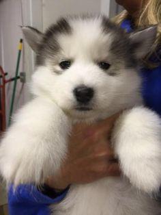 Georgia O'Keefe is an adoptable Siberian Husky, Husky Dog in Cumming, GA Bio coming soon! ...Read more about me on @petfinder.com she shall be mine.  ❤