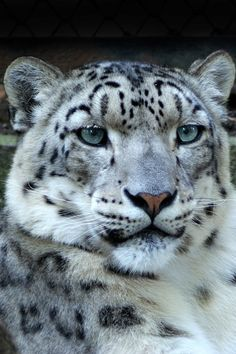 Snow leopard... such a beautiful animal
