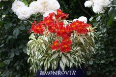 Rock and Roll® Peruvian Lily - bright blooms and colorfully variegated foliage will as a spot of sunshine to your borders and containers. Flower Garden, Plants, Variegated Plants, Cool Plants, Plant Catalogs, Plant Design, Monrovia Plants, Container Gardening, Peruvian Lilies