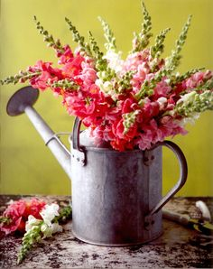 Watering Can -   A gardener's dream, this vintage, watering can is filled with stems of joyous snap dragons. The vibrant flowers contrast nicely against the weathered tin. Once the flowers perish, the can may be used to water new seedlings in the garden for future occupants.