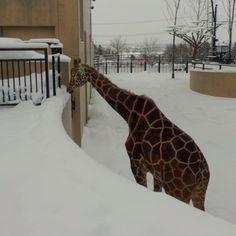 パウダーうまい Giraffe, Photo And Video, Videos, Animals, Instagram, Animales, Felt Giraffe, Animaux, Video Clip