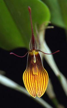 Restrepia brachypus - Flickr - Photo Sharing!