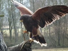 Harris hawk photo, taken at the Cotswold falconry centre on Feb 14th 2015